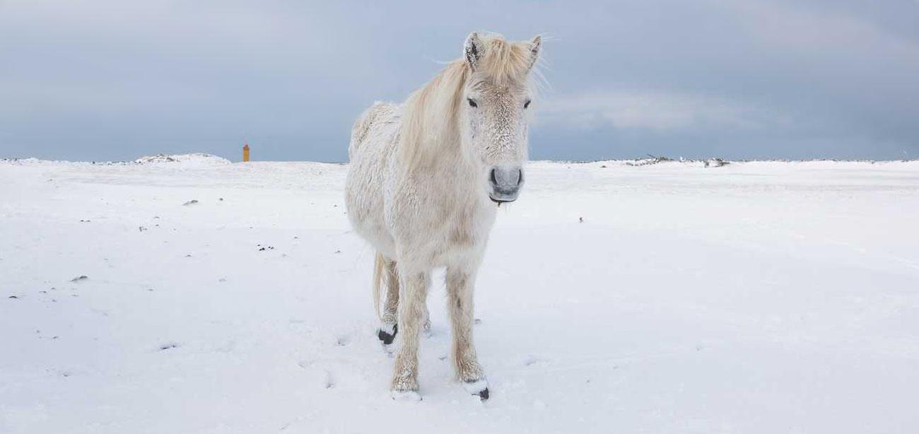 icelandic-horse-sig-hafsteinsson-4b