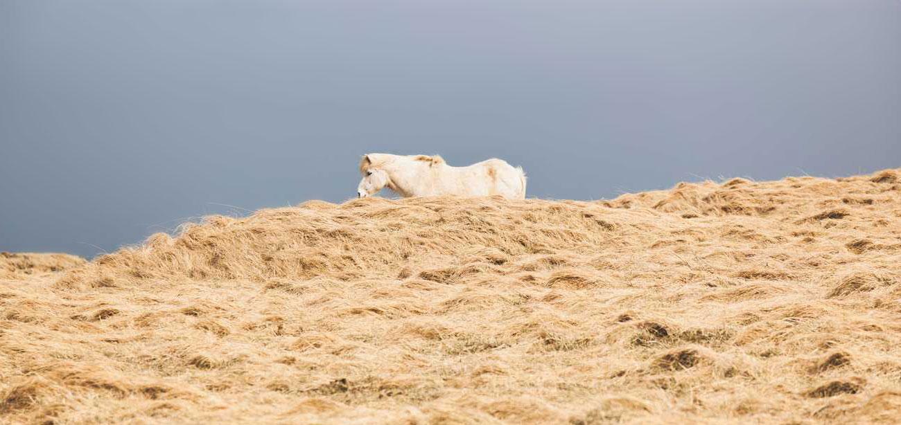 icelandic-horse-sig-hafsteinsson-5b