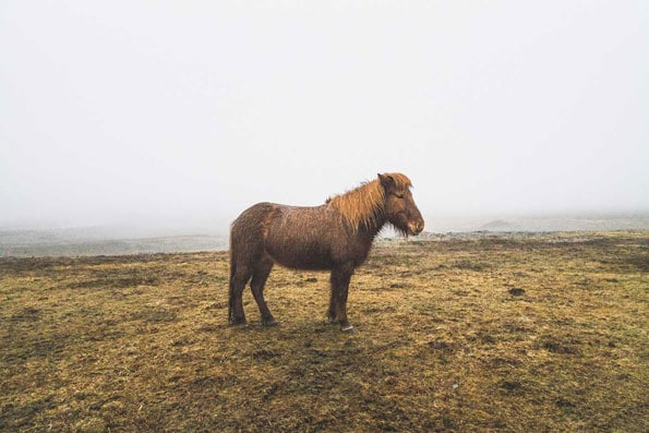 icelandic brown horse on paddock
