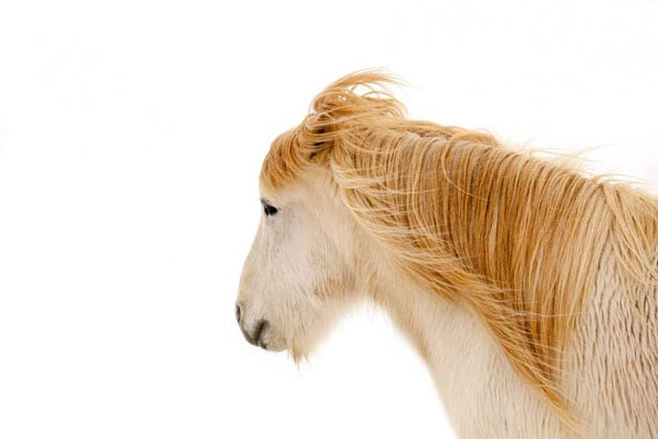 white horse head golden mane