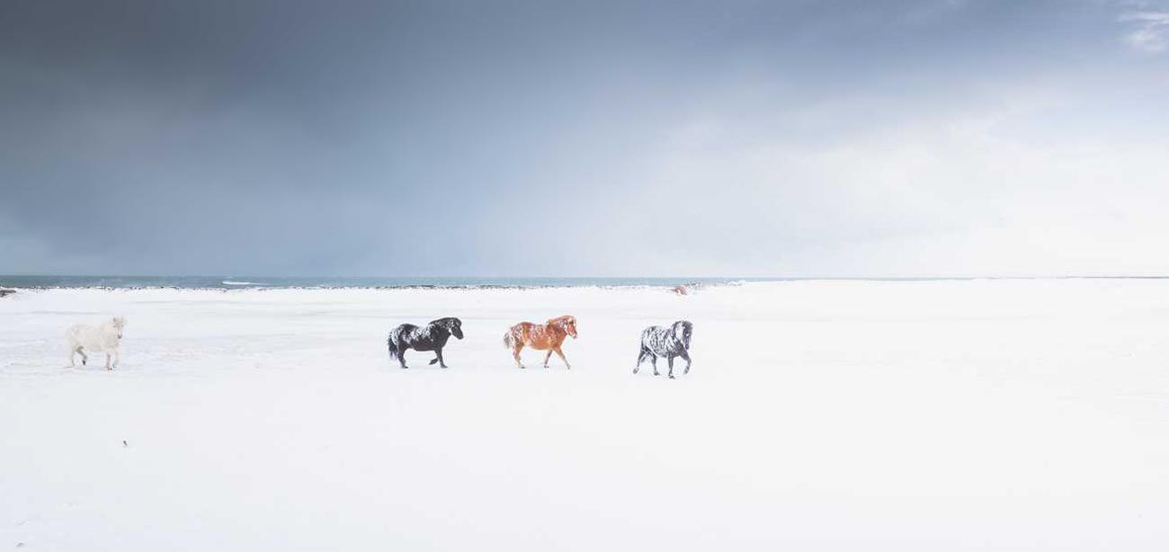 icelandic-horse-sig-hafsteinsson-2b